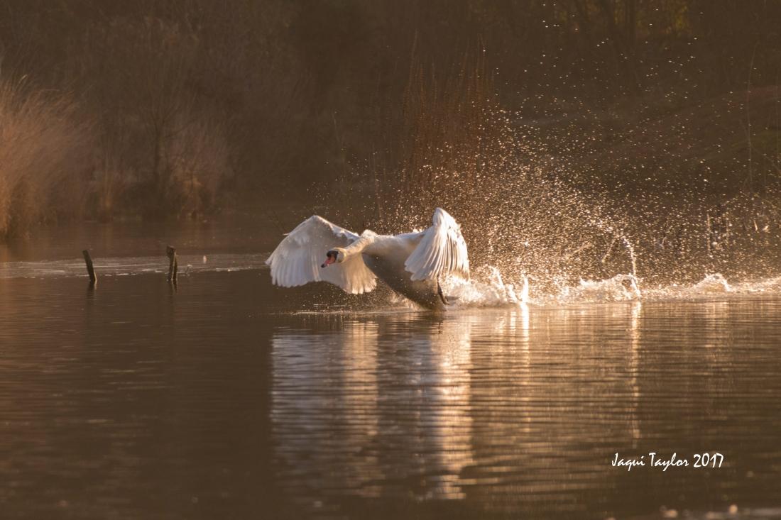 swanflying