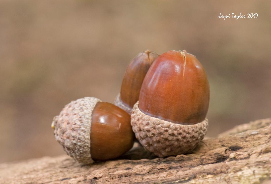 acorns copy 2