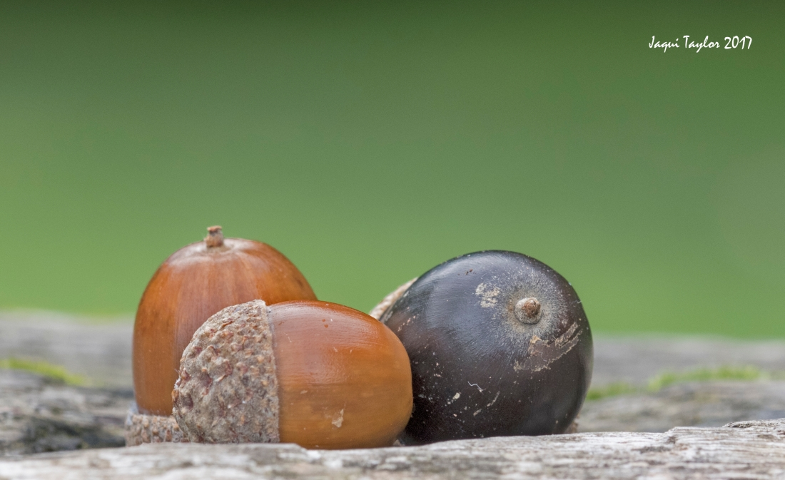 acorns copy