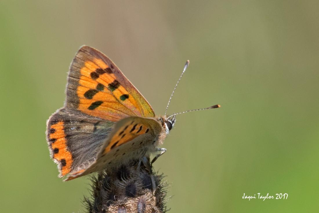 butterfly copy 2