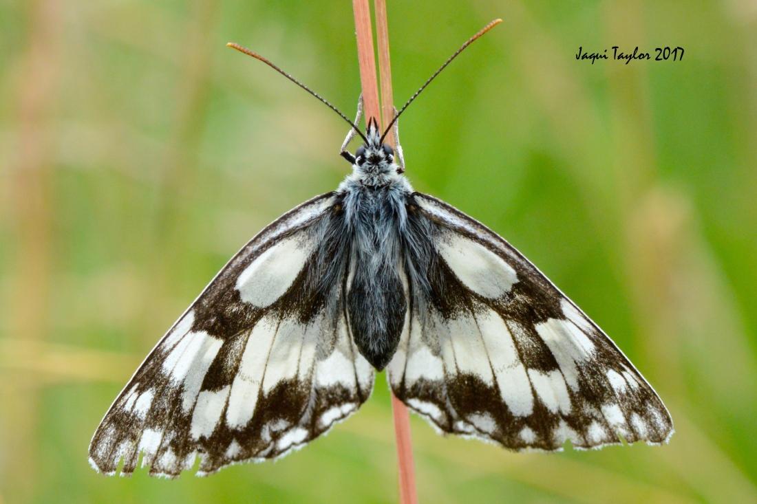 butterflyongrass2