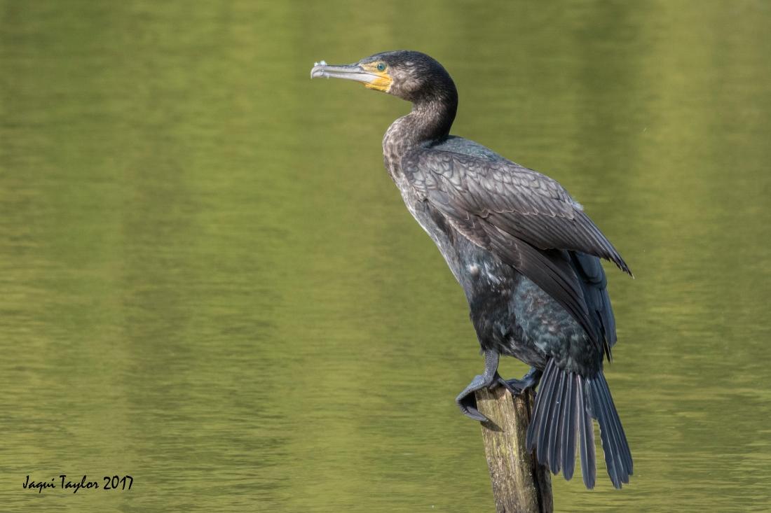 cormorant copy