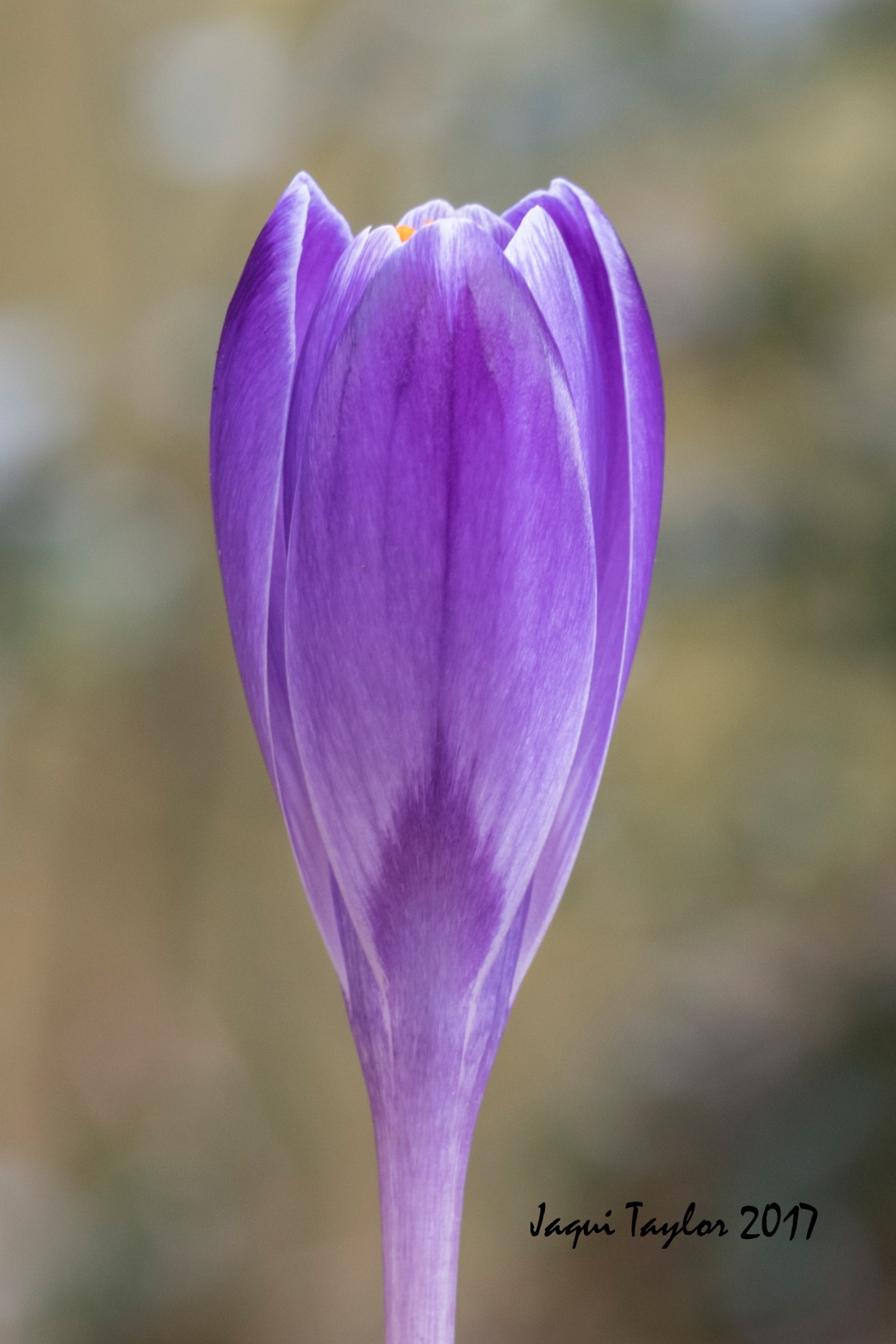 crocus copy 2