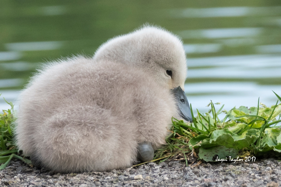 cygnet copy