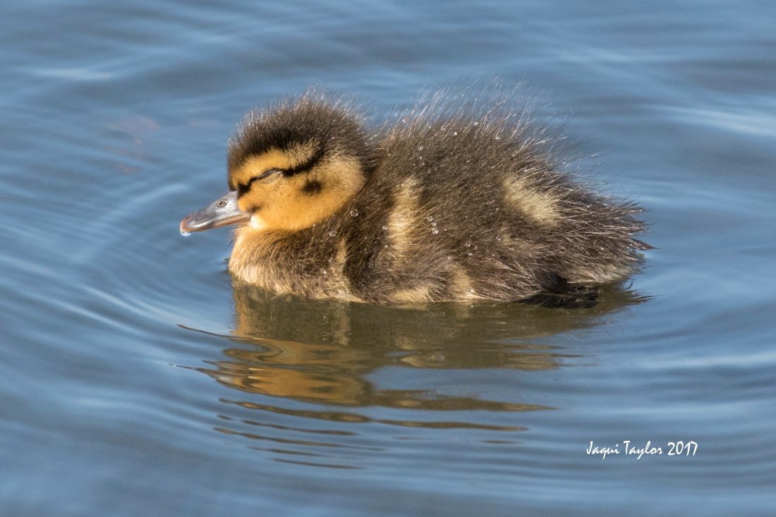 duckling sleeping1