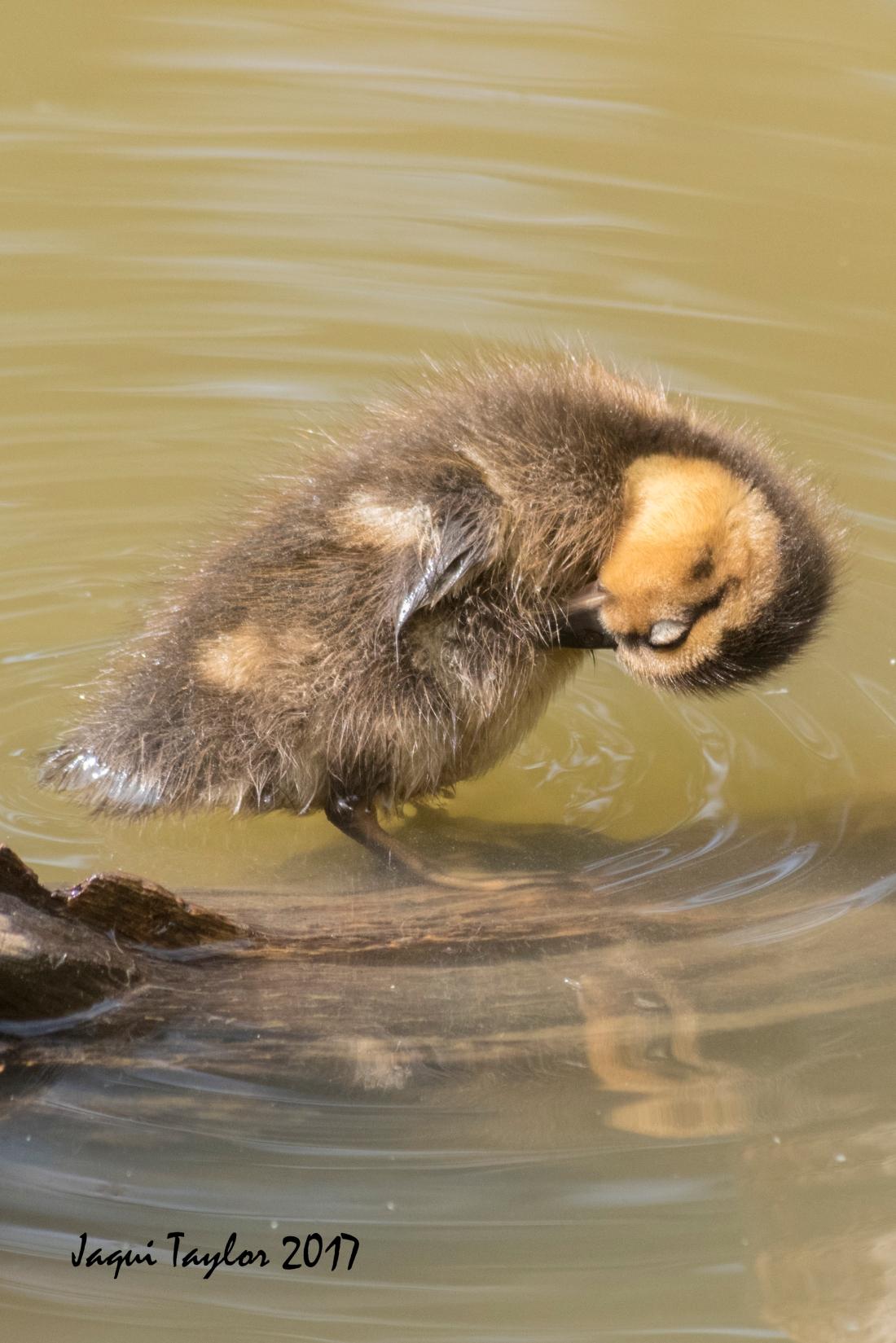 ducklingsleep5